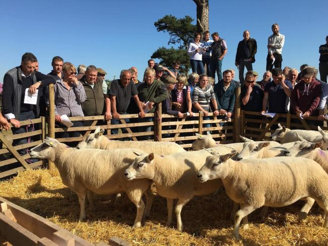 Sheep being inspected at the dispersal held by Leyburn Auction Mart on behalf of JF & PMC Milner, at Bales Farm, near Masham